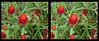 Longwood Gardens Flowers 4 - Crosseye 3D (DarkOnus) Tags: pennsylvania bucks county panasonic lumix dmcfz35 3d stereogram stereography stereo darkonus longwood gardens flowers scenic scenery flower botanical garden crosseye crossview