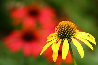 Lovely Flower, Cantigny Park. 50 (EOS)