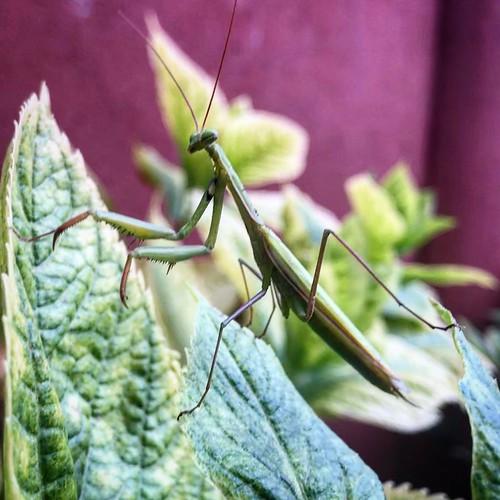 Mantis in my yard!