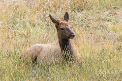 Elk calf taking a break