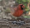 cardinal (Anne Davis 773) Tags: 2017365 277365 cardinal bird male startled