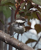 Chickadee 20150821 (caligula1995) Tags: 2015 birdwatching chickadee plumtree
