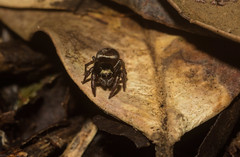 rainforest litter jumper (dustaway) Tags: arthropoda arachnida araneae araneomorphae salticidae euophryinae jumpingspider australianspiders northernrivers nsw nature australia spinne araignee victoriaparknaturereserve dalwood alstonvilleplateau rainforest