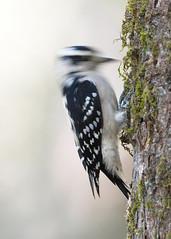 Woodpeckin' (PeterBrannon) Tags: bird downywoodpecker florida hillsboroughcounty nature picoidespubescens tampa wildlife hammer slowshutter woodpecking
