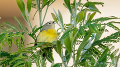 Nashville Warbler (Bob Gunderson) Tags: birds california fortmason nashvillewarbler northerncalifornia oreothlypisruficapilla sanfrancisco warblers woodwarblers