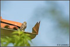 _DSC0025_Chevêche d'Athéna (patounet53) Tags: athenenoctua chevêchedathéna littleowl strigidés strigiformes bird oiseau
