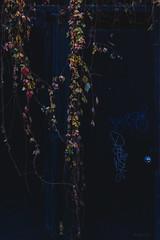 Autumn Door (Photo Alan) Tags: vancouver dark door ivy colorful canada outdoor street