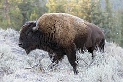 Special Breed... (DTT67) Tags: bison mammal yellowstone nature northamerica canon 5dmkiv