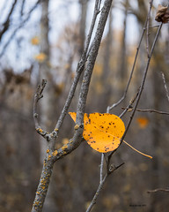 Trapped (brentus69) Tags: alberta canada park nationalpark elkislandnationalpark shirleylaketrail fall autumn colors beautiful leaves trees forest nature nikon d4 nikond4