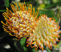 Banksia (Siene Browne) Tags: flora banksia flower outside australiannativeplant
