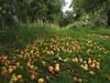 windfalls (Johnson Cameraface) Tags: 2017 september autumn olympus omde1 em1 micro43 mzuiko 1240mm f28 johnsoncameraface yorkcemetery york cemetery graveyard nature yorkshire northyorkshire apples apple windfall