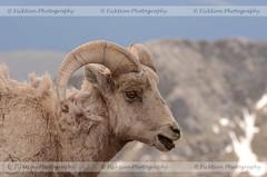 Bleeeeh, Dirt (ficktionphotography) Tags: bighorn bighornsheep colorado mtevans wildanimals roadtrip2013