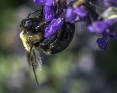 Bee_SAF3231 (sara97) Tags: bee copyright©2017saraannefinke endangered flyinginsect insect missouri nature photobysaraannefinke pollinator saintlouis towergrovepark