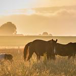 Morning in the paddock thumbnail