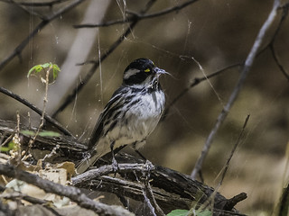 Black-and-white Warbler 170515 Fort Huachuca -145