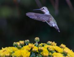 Hummingbird in flight (sharp shooter2011) Tags: hummingbird hummingbirdphotography annashummingbird wildlifephotography naturephotography avianphotography birdphotography