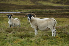 Feeling Sheepish (steve_whitmarsh) Tags: scotland scottishhighlands landscape aberdeenshire cairngorms animal sheep abigfave smileonsaturday