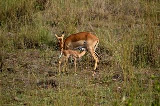 maman et bebe impala