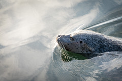 Seal at Sunset (Repp1) Tags: bc canada victoria fishermanswharfseal phoque sunset coucherdusoleil swimming nager