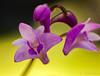 Orchid Flower. (bob_katt) Tags: orchid flower kapiti coast purple petal colour canon eos500d