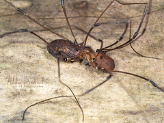 Well I Just Learned Something New... (zxgirl) Tags: 60mmomzd arachnida arthropods capemay em5ii nj opiliones animals autumn nature trip capemaypoint newjersey unitedstates us bug bugs animal animalia arthropod arthropoda arachnid arachnids dromopoda harvestman harvestmen daddylonglegs p9250215 pair mating