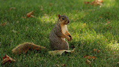 Squirrel, Cantigny Park. 43 (EOS) (Mega-Magpie) Tags: canon eos 60d nature wildlife outdoors cantingy park wheaton dupage il illinois usa america cute squirrel leaf green grass