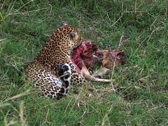 Masai Mara - Day 3 (lens buddy) Tags: masaimara africa kenya safari wild wilderness animal leopard africanleopard leopardkill feedingleopard cat bigcat hunter kill