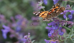 Painted Lady (Vanessa cardui) (Gavin Edmondstone) Tags: vanessacardui paintedlady butterfly bronteharbour ontario oakville