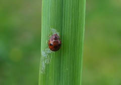 There's no hiding... (rockwolf) Tags: 24spotladybird subcoccinella24punctata ladybird coccinellidae coccinelle beetle coleoptera insect uptonmagna shropshire rockwolf