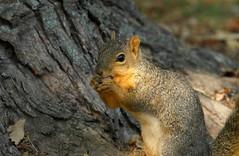 Squirrel, Cantigny Park. 47 (EOS) (Mega-Magpie) Tags: canon eos 60d nature wildlife cute squirrel tree cantigny park wheaton dupage il illinois usa america eat hungry