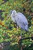 TONGUE ANYONE (Bill Vrtar Photo) Tags: millcreekpark lilypond ohio vrtarsmugmugcom heron blueheron