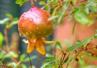 * Melograno * Pomegranate *