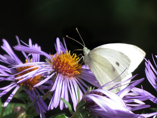 Cabbage White Butterfly - Piéride du Rave