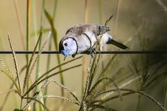 small bird series: double-barred finch (Fat Burns ☮ (on/off)) Tags: doublebarredfinch taeniopygiabichenovii australianbird bird fauna australianfauna smallbird finch nature nikond800 ourdoors