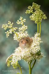 Peek-a-boo 500_0833.jpg (Mobile Lynn - Limited internet) Tags: nature rodents harvestmouse captive fauna mammal mammals rodent rodentia wildlife greensnorton england unitedkingdom gb coth specanimal coth5 ngc sunrays5 npc