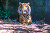 Sumatran Tiger (Merrillie) Tags: wildlife tiger striped zoo melbournezoo cat sumatrantiger fauna magnificent orange animal