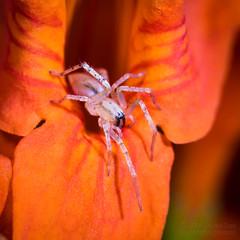 Ghost Spider - Arachtober 18 (jciv) Tags: spider file:name=dsc07087