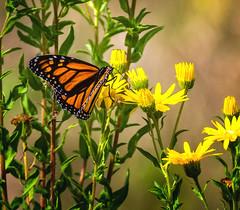 Daisy Dancer (Portraying Life, LLC) Tags: dbg6 da3004 hd14tc k1 michigan pentax ricoh unitedstates butterfly closecrop handheld nativelighting matthaeibotanicalgardens wildflower meadow