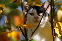 Jimmy_3 (Mitobaehr) Tags: katze cat portr portrait baum tree herbst autum leaf blatter bunt farben