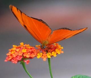 Closeup - Flame butterfly (Dryas iulia) on Lantana flowers, Sarapiqui, Costa Rica, Dec 2016