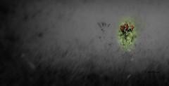 Espoir permis! / Hope allowed! (MichelGuérin) Tags: 2017 canada exterior extérieur fleur flower lefjorddusaguenay lightroomcc michelguérin nature nikon nikonafsnikkor200500mmf56eedvr nikond500 paysage qc québec refugefauniquedesbatturesdesaintfulgence saintfulgence ca