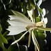 Epiphyllum anguliger_DSC4732