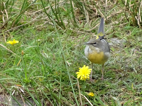 Female grey wagtail chirping, 2017 Aug 31