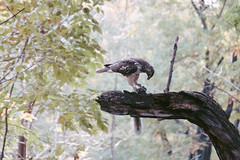 Osprey in Central Park, NYC (instagram.com/lanolan) Tags: animals bird centralpark color day fuji fujifilm fujifilmxpro2 hawk manhattan newyork newyorkcity newyorknewyork ny nyc outdoors outside park thebigapple trees xpro2