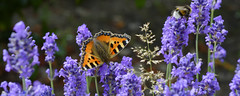 Lavender Panorama (Alfred Grupstra) Tags: insect butterflyinsect nature flower animalwing animal beautyinnature closeup summer macro multicolored purple plant fragility greencolor outdoors blue springtime yellow flowerbed lavender bumblebee