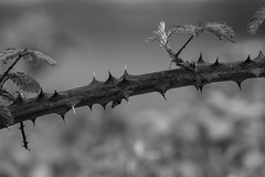 Spiky bearer of tasty goodness (Anxious Silence) Tags: maidenhead spring outside walking nature blackandwhite blackberry bramble thorns texture contrast spiky