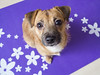 Funny ginger puppy on the yoga mat (iromanova1983) Tags: mat jackrussell terrier puppy cute sweet lilac flower yoga friend best eyes nose sitting view top orange ginger jack russell dog animal background pet brown happy domestic canine young portrait russel doggy purebred looking pedigree funny adorable breed pup small mammal one beautiful creature dogs