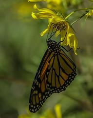 MonarchButterfly_SAF4348-2 (sara97) Tags: danausplexippus butterfly endangered insect missouri monarch monarchbutterfly nature outdoors photobysaraannefinke pollinator saintlouis towergrovepark copyright©2017saraannefinke