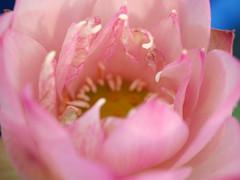 Nelumbo nucifera 'Boli Gongzhu' Lotus Wahgarden Thailand 2 (Klong15 Waterlily) Tags: nelumbo nelumbonucifera lotus thaillotus chainalotus pinklotus pond lanscap flower lotusflower
