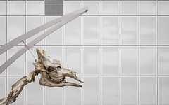 Grin (CoolMcFlash) Tags: grin animal skeleton museum giraffe fujifilm xt2 grinsen tier skelett fotografie photography xf 1024mm f4 r ois wall pattern muster wand head kopf sideview seitenansicht